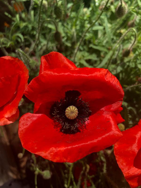 Poppy flower seed head assortment poppy flower seed head assortment mightylinksfo